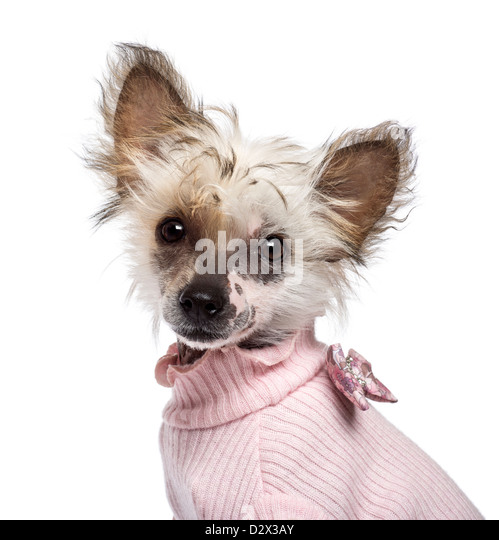 Chinese Crested 4 Months Chinese Crested Dog Cl...