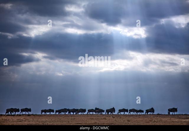 Shafts of light illuminate a migrating herd of wildebeest. - Stock Image