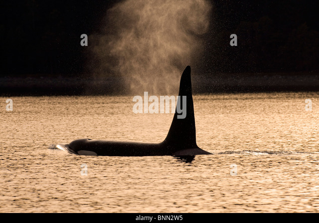 An Orca Whale exhales (blows) as it surfaces in Alaska's Inside Passage, Alaska - Stock Image
