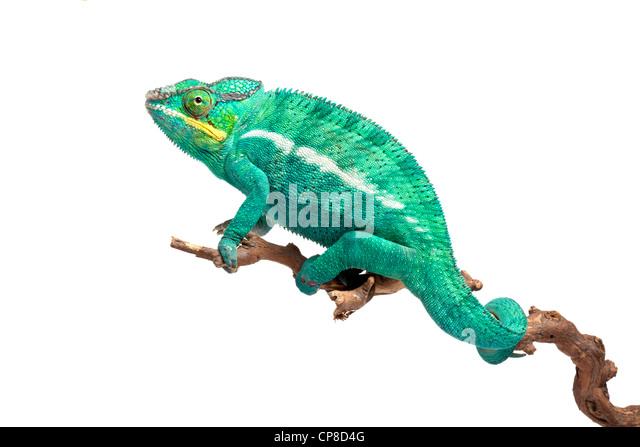 Panther chameleon, Furcifer pardalis, Ambilobe form, male - Stock-Bilder