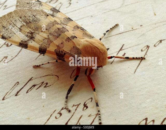 Moth on vintage script - Stock Image