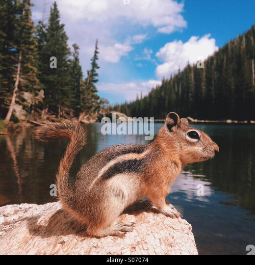 Mountain Lake Chipmunk - Stock Image