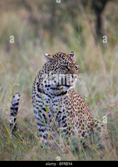 Female leopard snarling with tail flicking - Stock Image