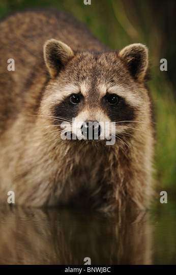 Northern Raccoon (Procyon lotor), adult at night drinking from wetland lake, Fennessey Ranch, Refugio, Coastal Bend, - Stock Image