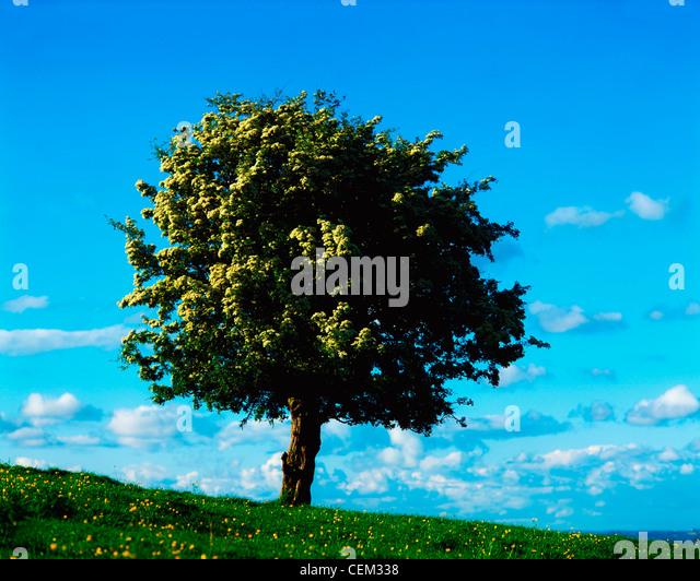 White Hawthorn Tree - Stock Image