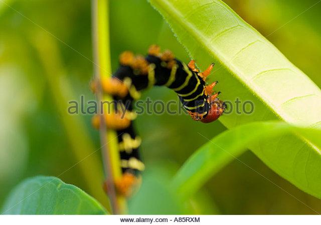 Brightly coloured caterpillar of the Frangipani Hawkmoth (Pseudosphinx tetrio) Martinique, Windward Islands, Caribbean - Stock-Bilder