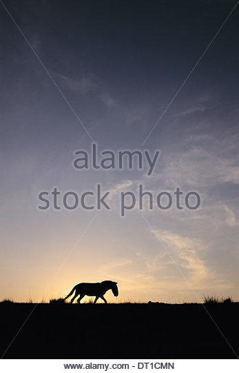 Hustain Nuruu National Park Mongolia Takhi sunset Equus caballus przewalskii Mongolia - Stock Image
