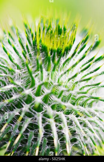 Prickly - Stock Image
