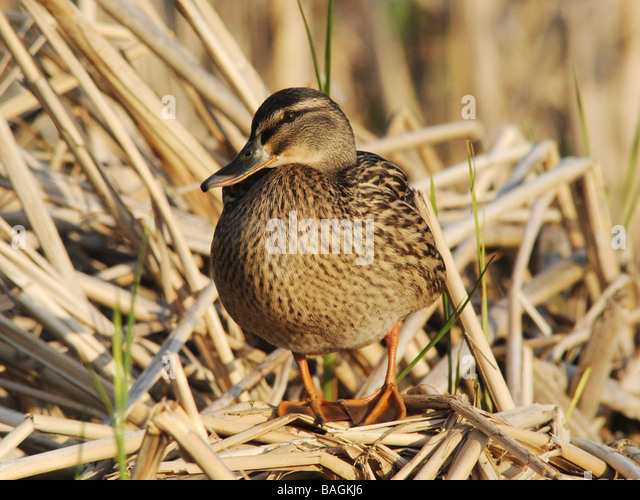 A female mallard duck nesting and sitting on straw. - Stock Image