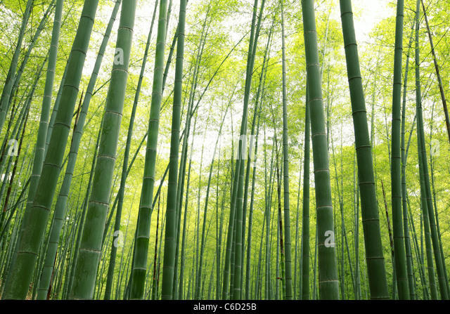 Bamboo forest,natural green background. - Stock Image
