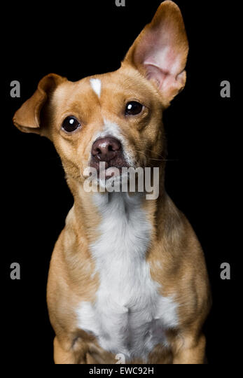 Captivating studio portrait of adult yellowish tan Chihuahua mix dog on black background with white chest one giant - Stock Image