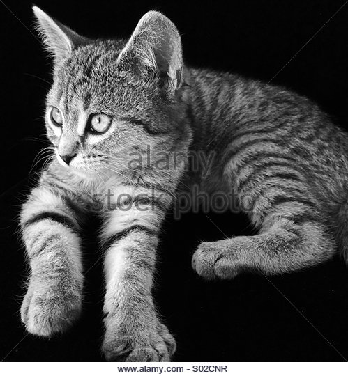 Tabby Kitten in Black & White - Stock Image