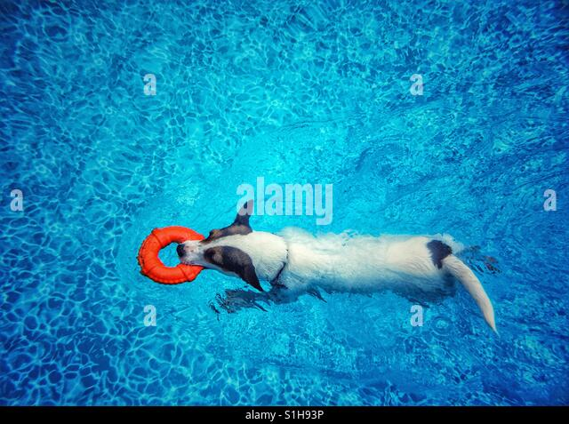 Jack Russell Terrier dog swimming in a swimming pool with a toy lifesaver ring. - Stock-Bilder