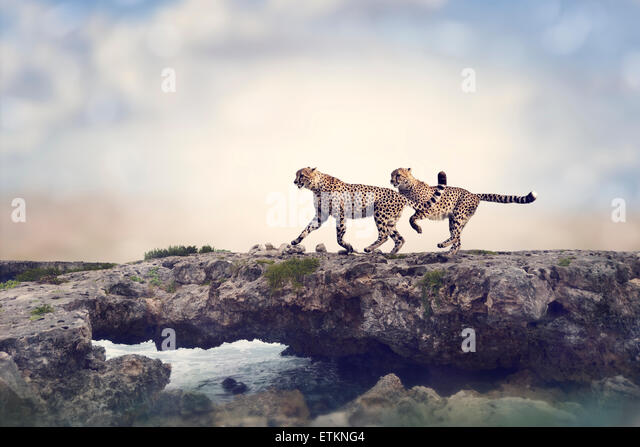 Two Cheetahs Running On A Top Of Rock - Stock Image
