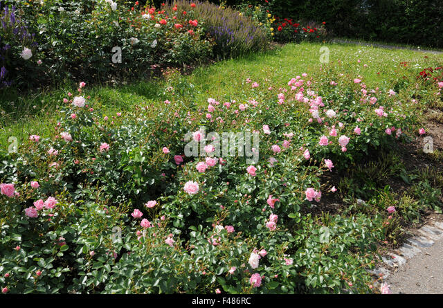 Roses In Garden: Roses Ground Cover Stock Photos & Roses Ground Cover Stock