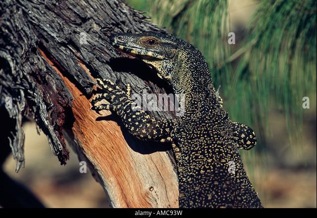 [Lace Monitor], Australia - Stock Image