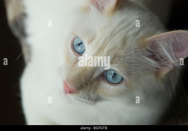White cat looking up intently at something beyond the camera. - Stock Image