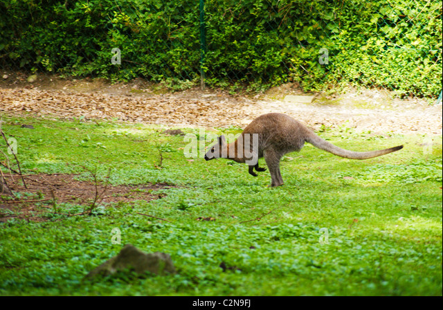 Kangaroo in Ljubljana ZOO - Stock Image