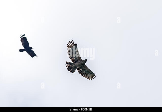 Mountain hawk Eagle, Nisaetus nipalensis Soaring in sky chased by crow with copy space - Stock Image