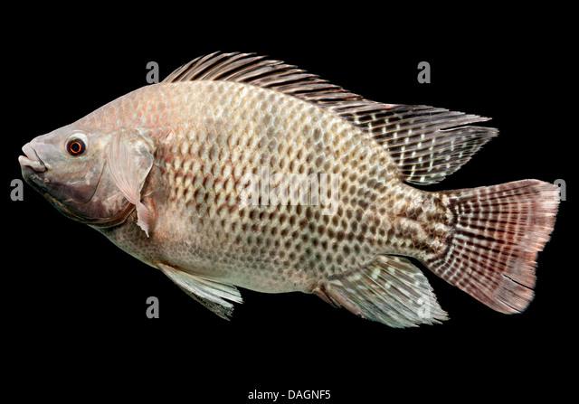 Oreochromis mossambicus stock photos oreochromis for Tilapia aquarium