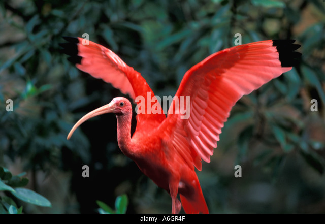 Scarlet ibis waving its wings action Eudocimus ruber National bird Trinidad and Tobago - Stock Image