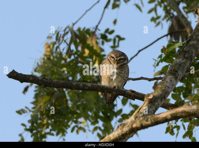 A spotted owlet sitting on a tree in Kaziranga national park in Assam, India. - Stock Image