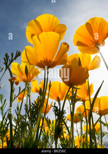 Looking up at the underside of orange Mexican poppies. - Stock Image