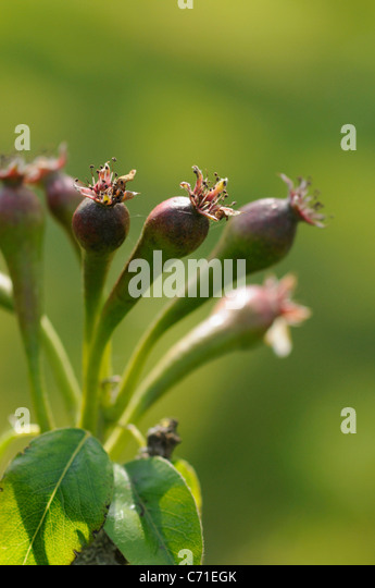 Pyrus communis 'Conference' Pear fruit bud against green background - Stock Image
