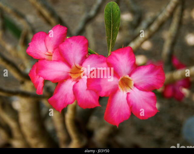 how to get desert rose to bloom