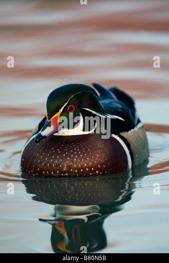 wood duck Aix sponsa drake - Stock Image