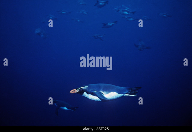 Snares Crested Penguins Eudyptes robustus swimming through clear seas Snares Islands New Zealand Underwater - Stock Image