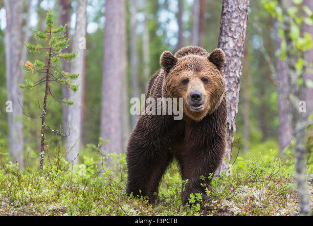 Close up photo of  Brown bear, Ursus arctos, walking in deep forest,looking in to camera, Kuhmo, Finland - Stock-Bilder