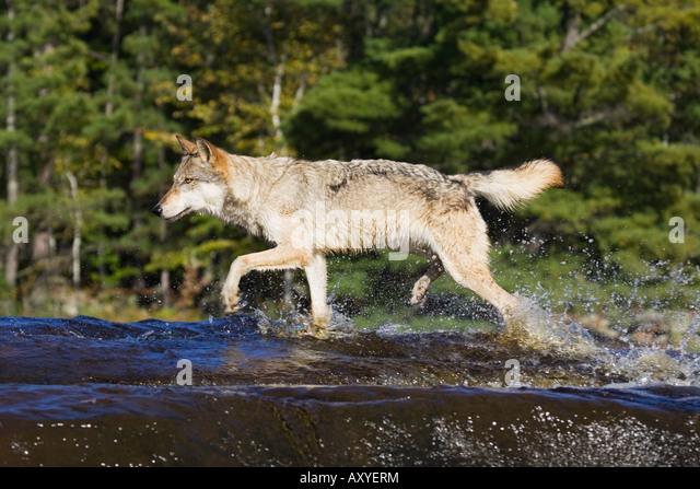 Gray wolf (Canis lupus) running through water, in captivity, Minnesota Wildlife Connection, Sandstone, Minnesota, - Stock-Bilder