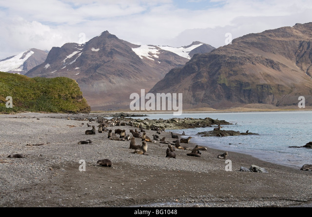 Fur seals, Fortuna Bay, South Georgia, South Atlantic - Stock Image