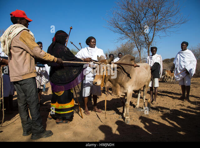 Kura Jarso blessing a bull before the slaughter during the Gada system ceremony in Borana tribe, Oromia, Yabelo, - Stock-Bilder