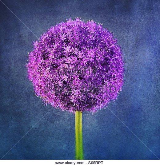 Giant allium flower - Stock Image