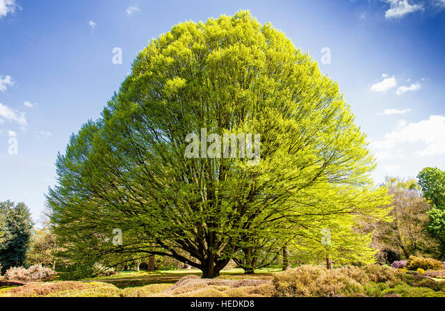 An Ash Tree in the English Countryside on a beautiful summers day. - Stock Image