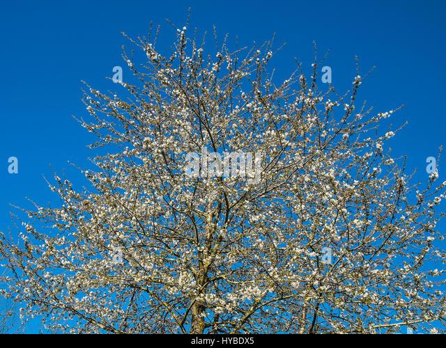 Cherry blossom (Prunus avium) tree - Stock Image