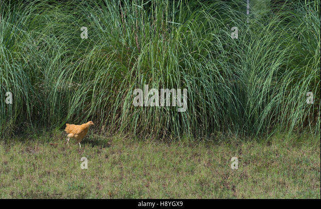 little Orpington chicken baby juvenile in front of pampas grass - Stock Image