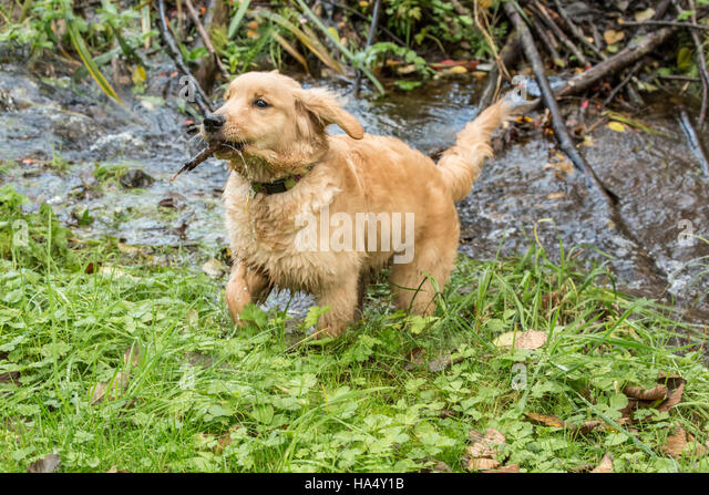 puppy fetching stick stock photos puppy fetching stick stock images a. Black Bedroom Furniture Sets. Home Design Ideas
