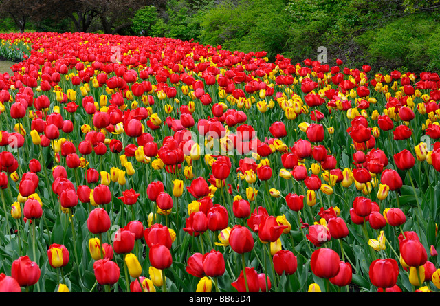 Sweeping garden bed of Red Impression and yellow Washington Tulips at Ottawa Tulip Festival in Spring - Stock Image