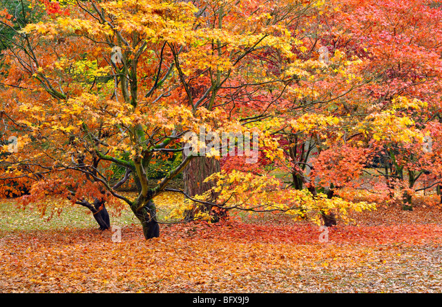 Maple glade in autumn - Stock Image