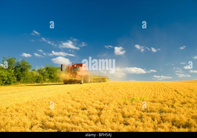 Harvesting lentils, Vanguard, Saskatchewan, Canada - Stock Image