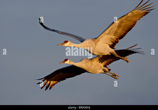 Two Sandhill Cranes in flight in late afternoon light, Bosque Del Apache National Wildlife Refuge, New Mexico, USA - Stock-Bilder