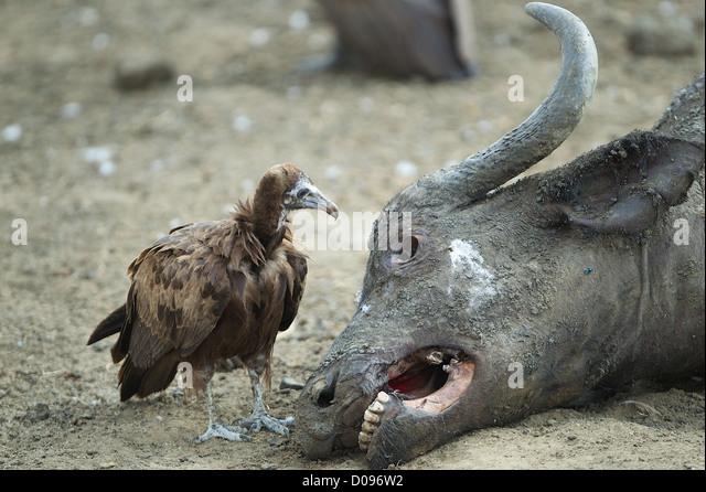 Vulture looks into eye socket of Cape buffalo carcass  Mikumi Game reserve . Southern Tanzania. Africa - Stock Image