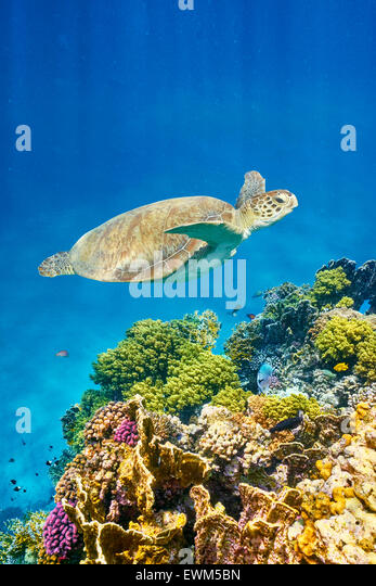 Marsa Alam - underwater view at Sea Turtle and the reef, Red Sea, Egypt - Stock Image
