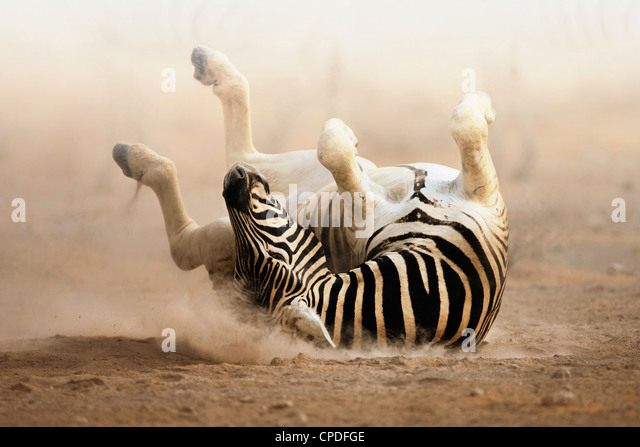 Zebra rolling on dusty white sand; Etosha - Stock Image