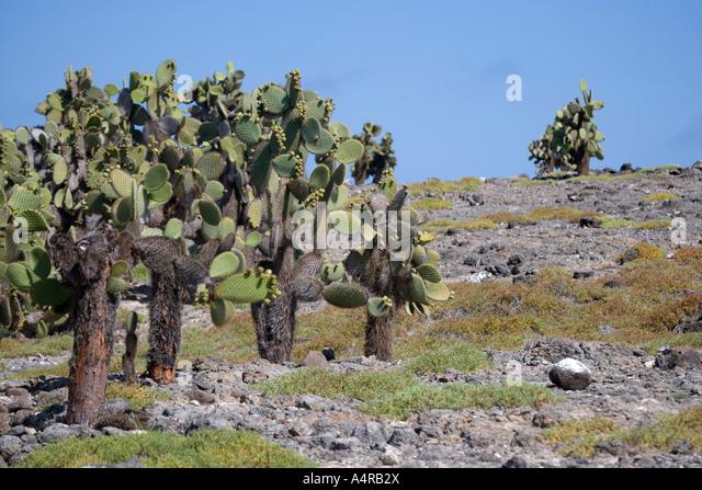 Opuntia stock photos opuntia stock images alamy for Cactus santiago