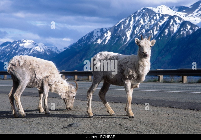 Two Dall sheep stand at the roadside of Seward Highway along Turnagain Arm during early Summer in Southcentral Alaska. - Stock Image