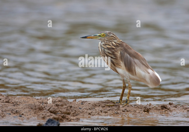 hindu singles in heron 4hrs bride's consent to marriage inherent part of hindu marital 1,570 birds perish in heavy rain m ahiraj the pond heron, the grey heron, crows, the.